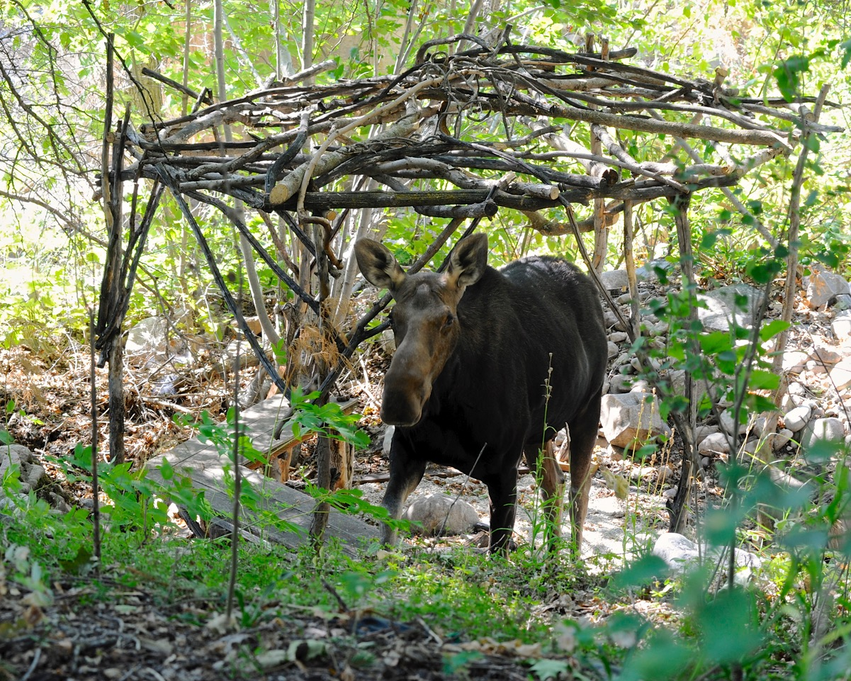 moose walking through woodland garden