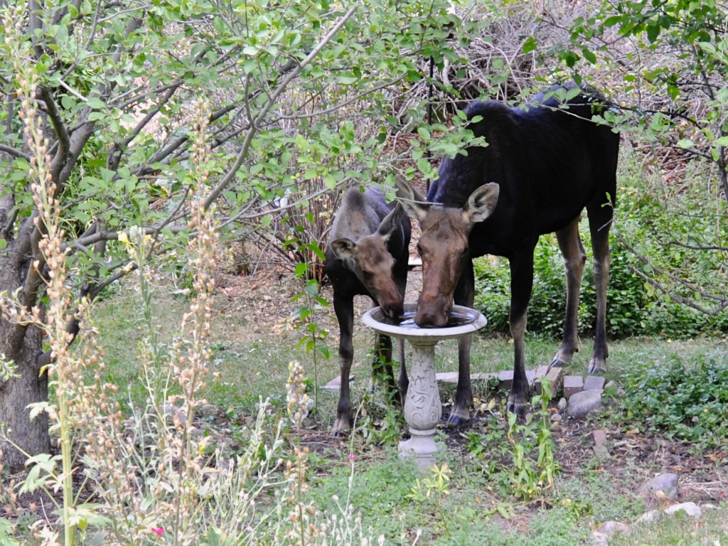moose and calf drinking from bird bath