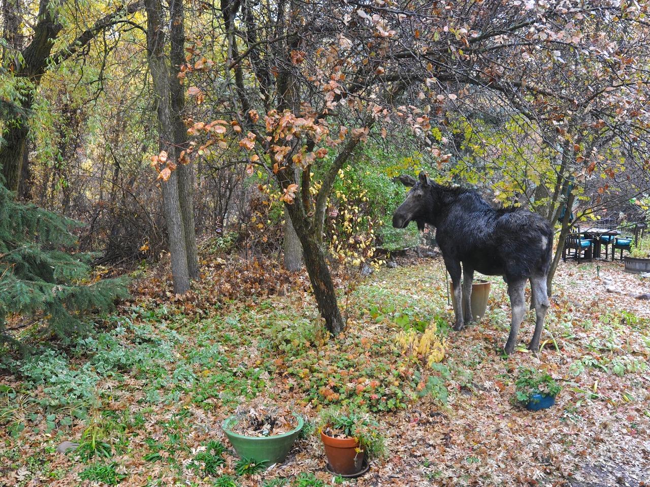 moose in a fall garden