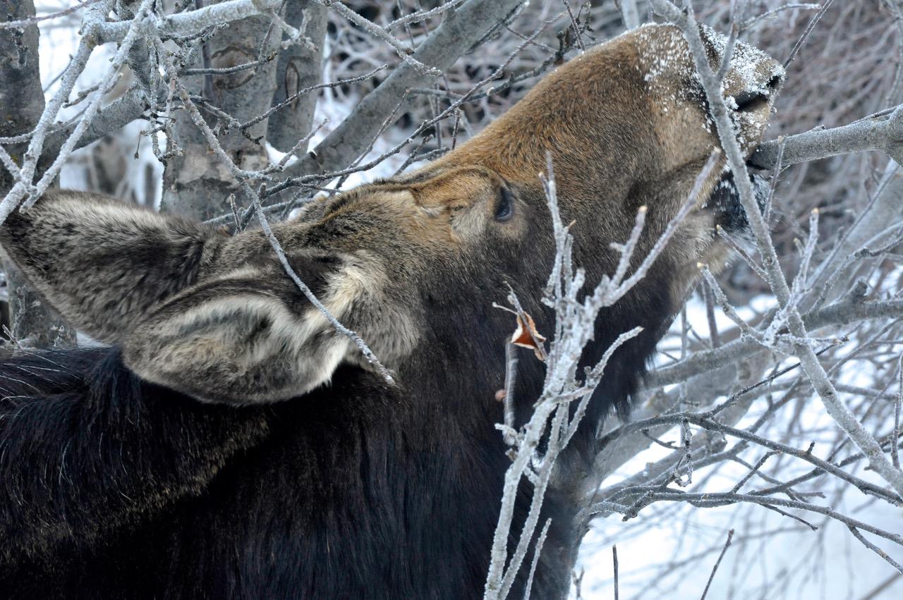 moose in a winter garden