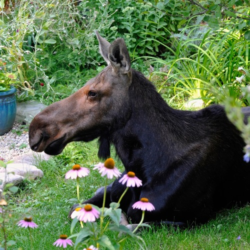 female moose laying in a garden