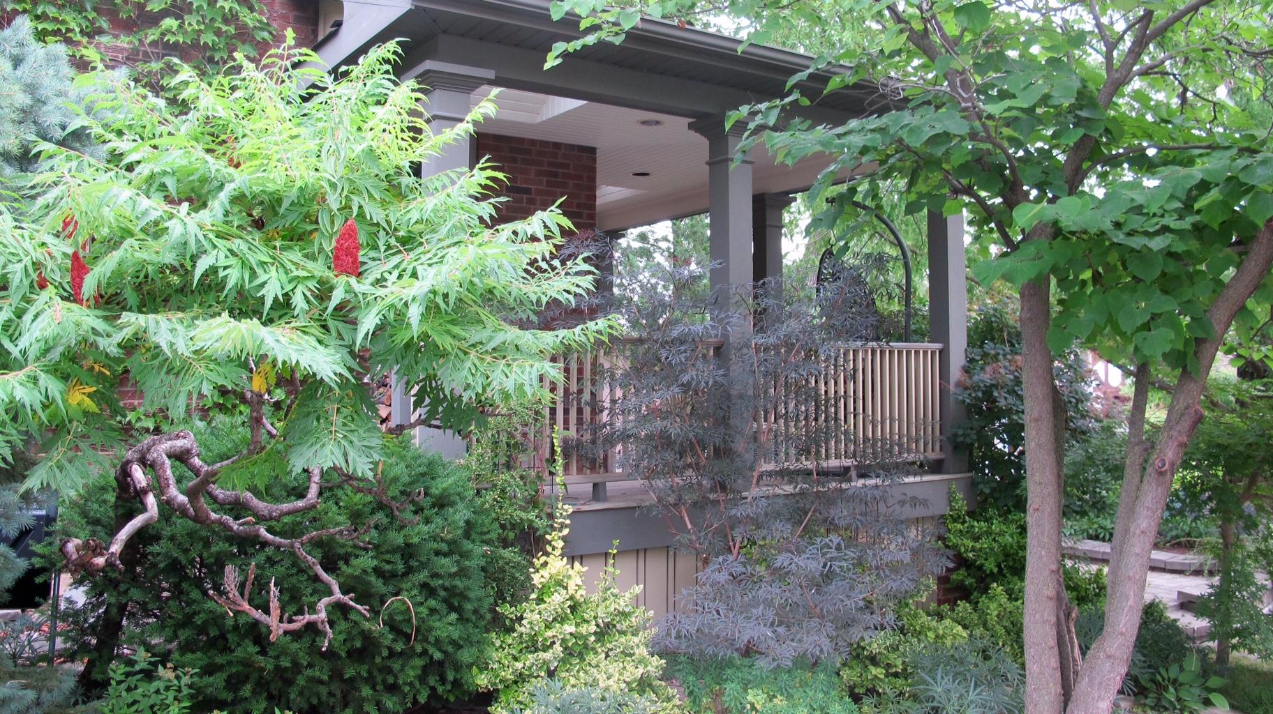 cutleaf staghorn sumac next to porch