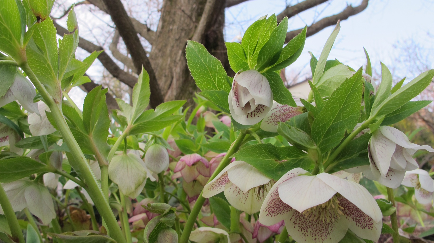 white and pink hellebores