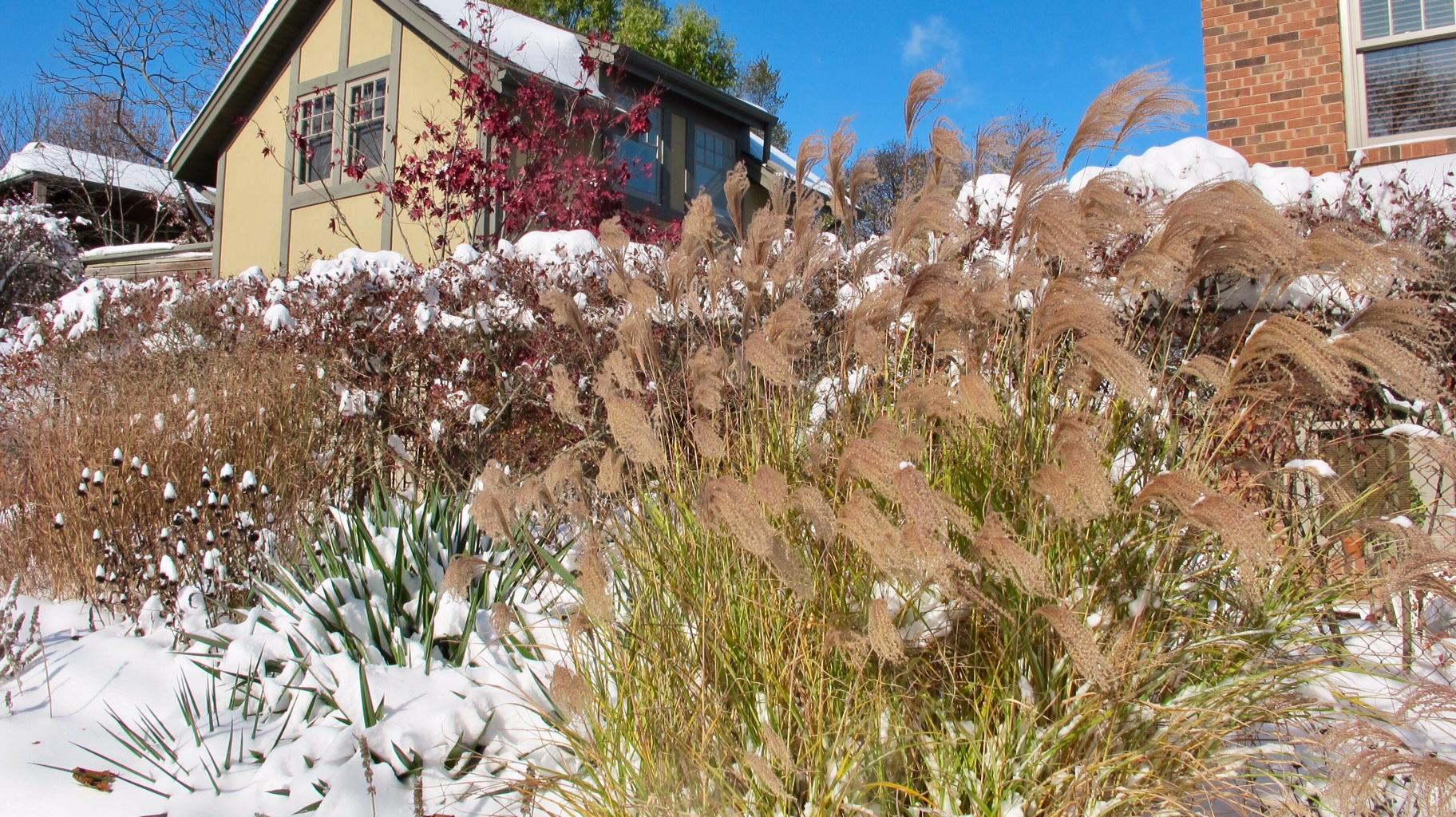 ornamental grasses in the snow