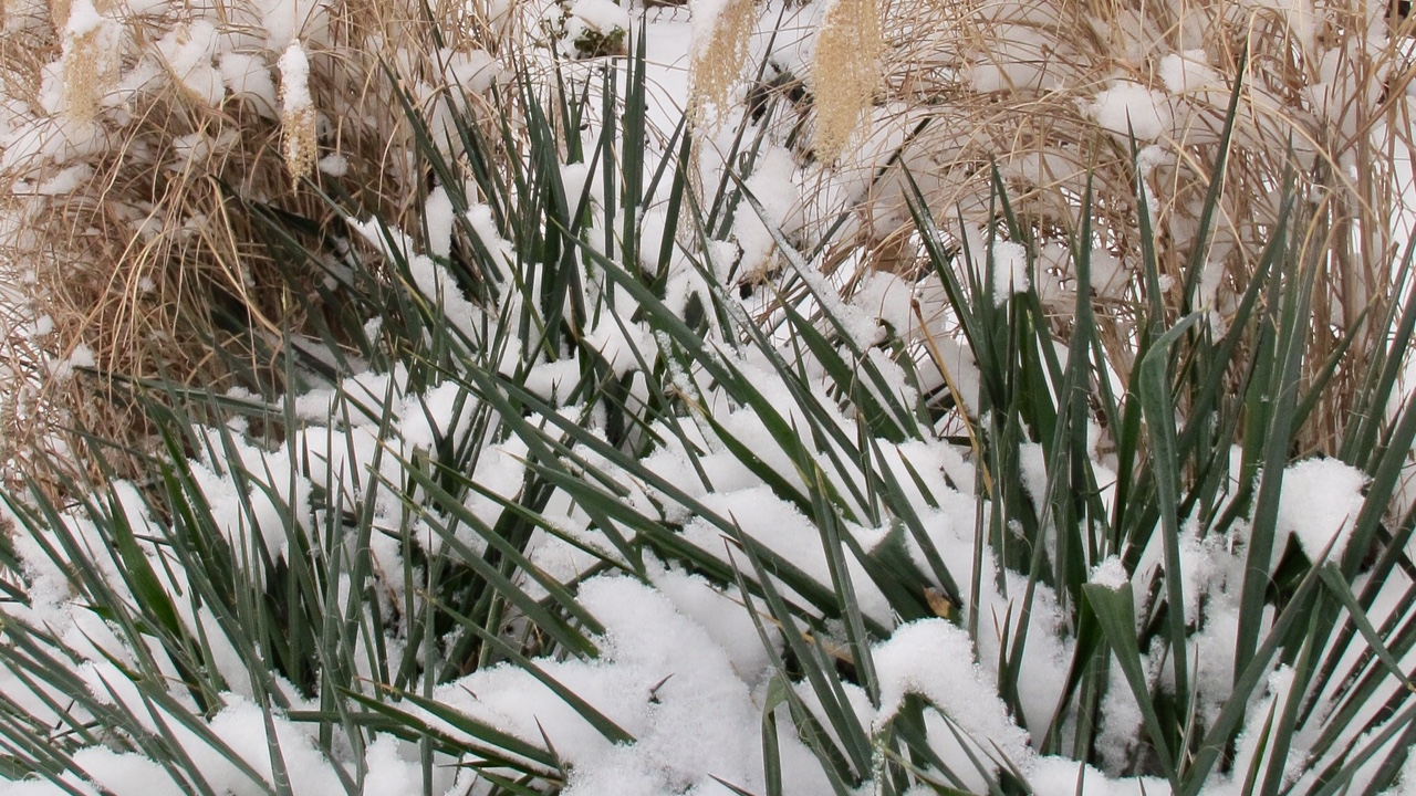 Yucca covered in snow