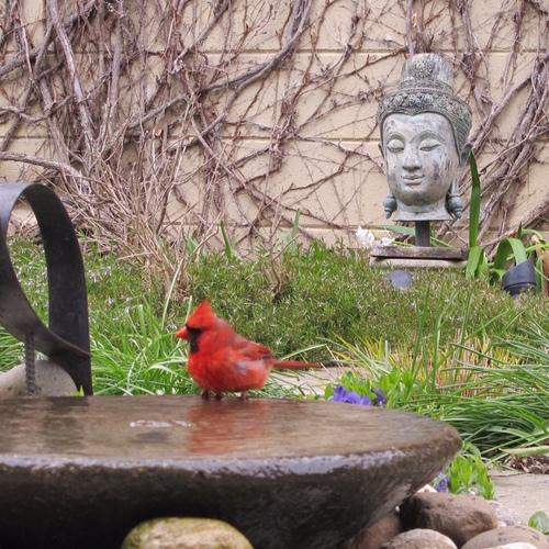 cardinal at a bird bath