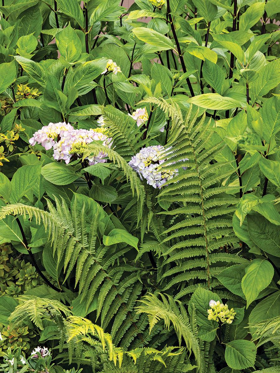 ferns with hydrangea