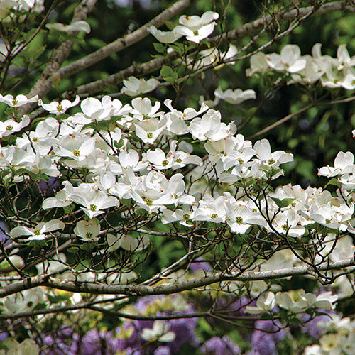 Appalachian Joy flowering dogwood