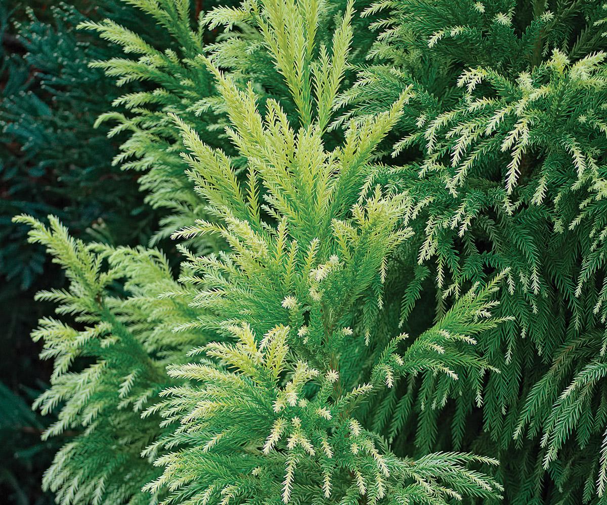 Sekkan-sugi Japanese cedar