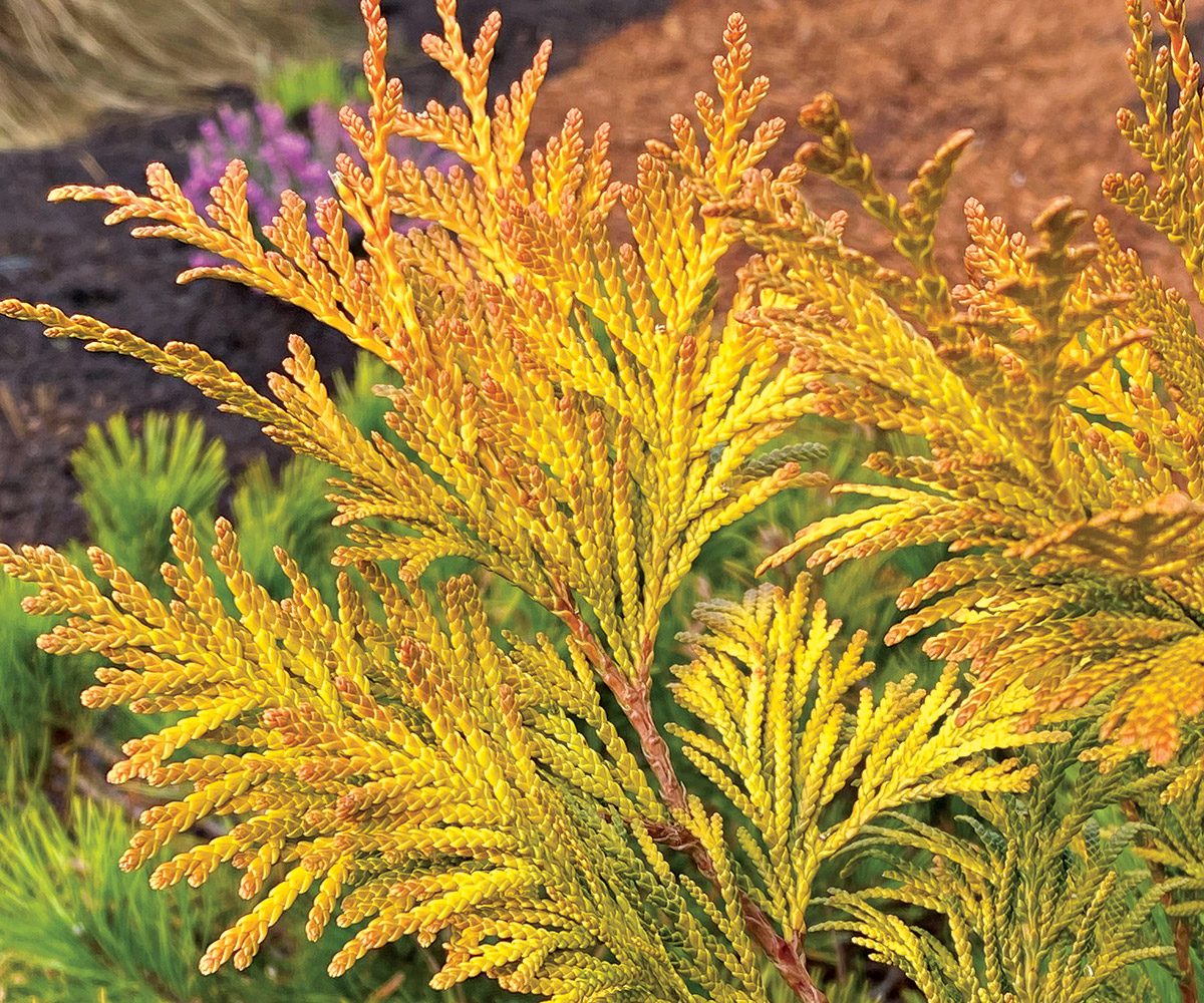 Berrima Gold incense cedar