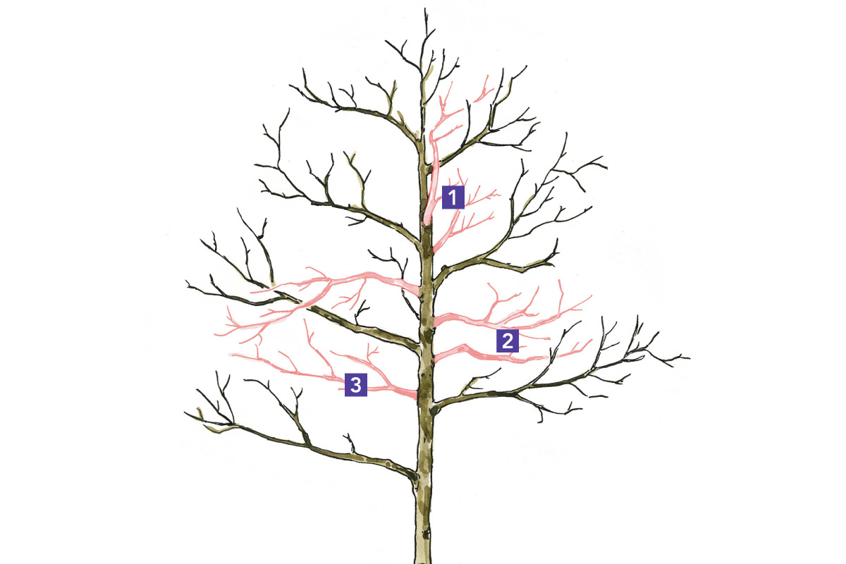 illustration of tree pruning that establishes a healthy scaffold