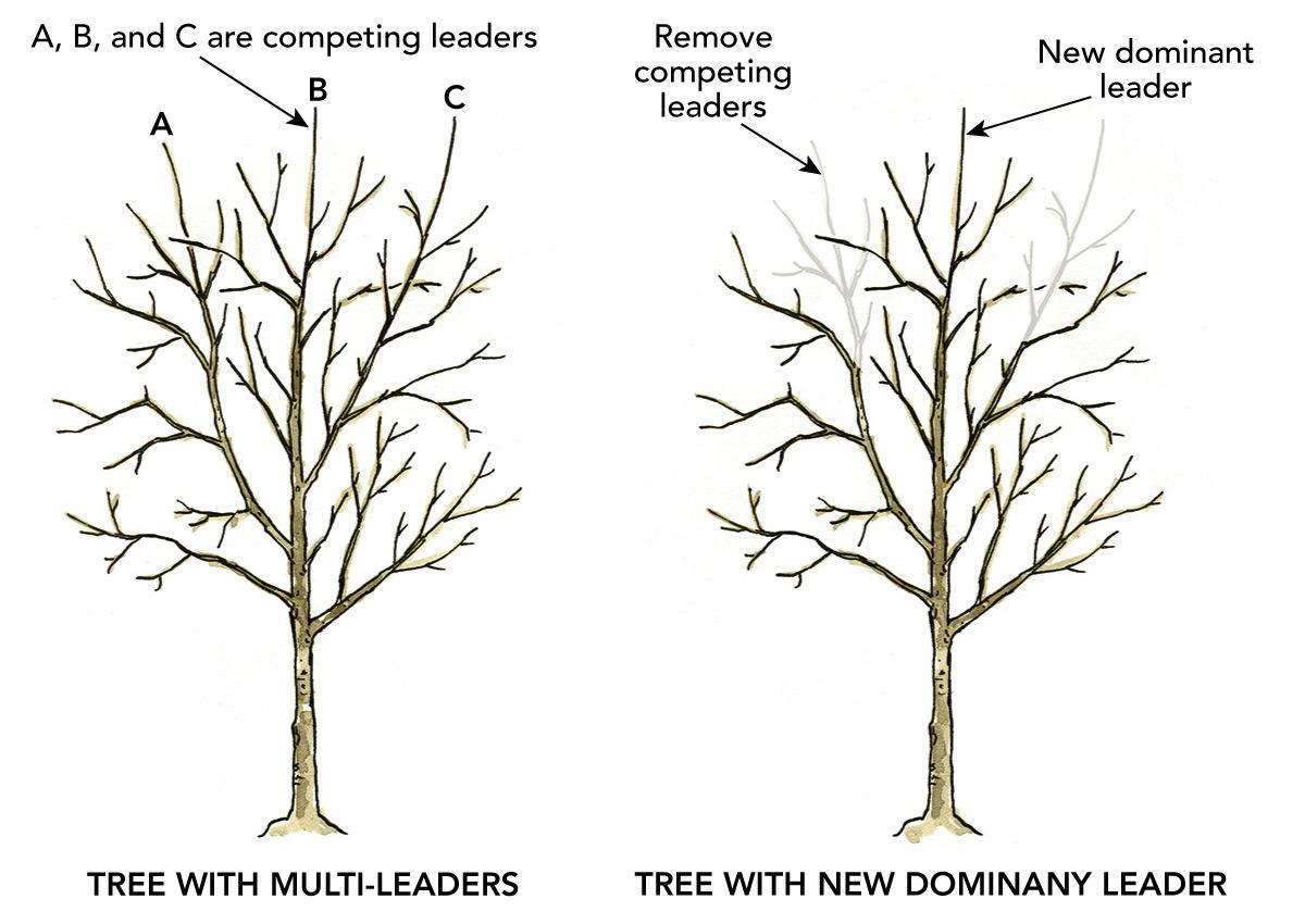 illustration of tree pruning to establish dominant leader