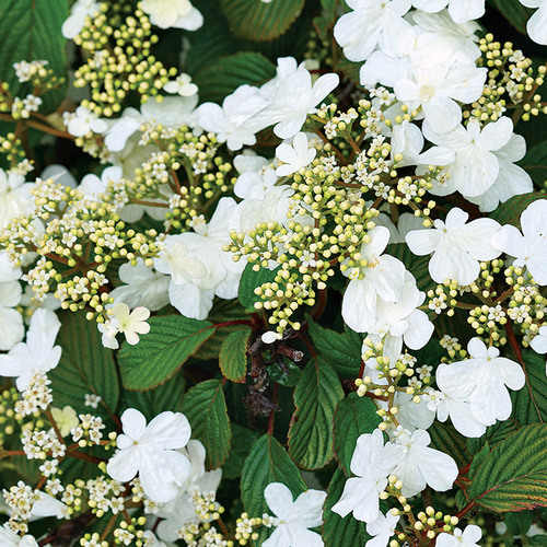 Steady Eddy Doublefile Viburnum