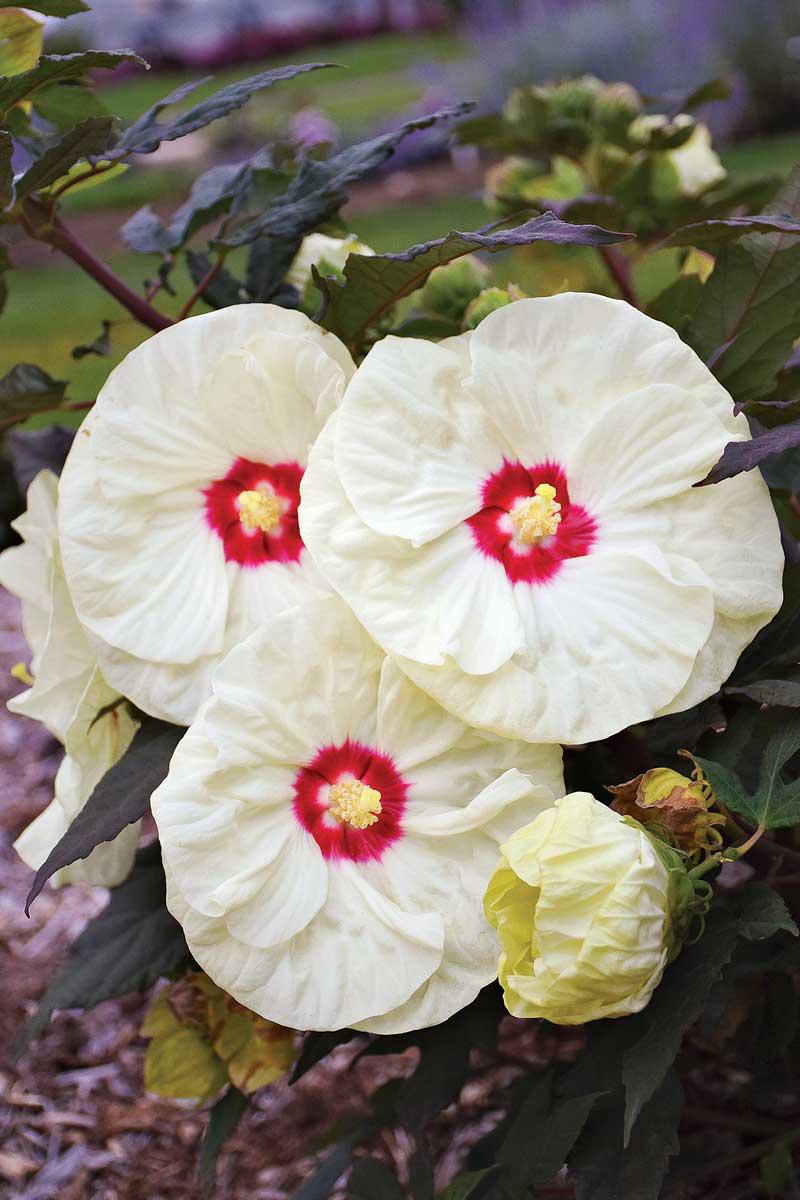 'French Vanilla' hibiscus