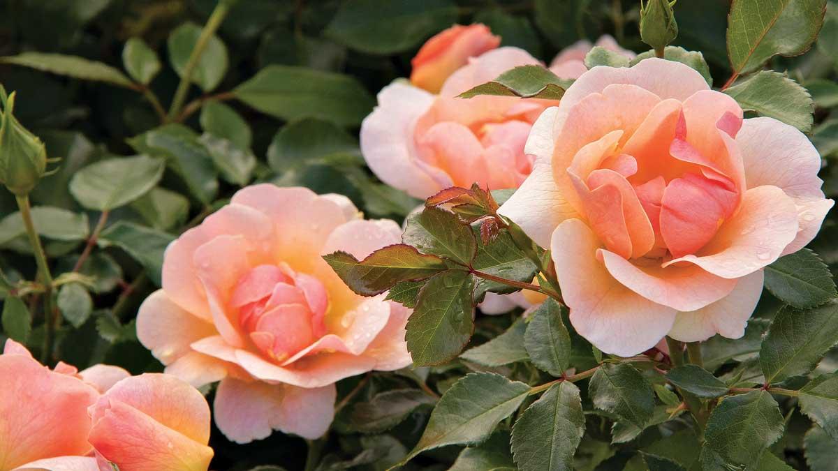 Nitty Gritty™ peach rose