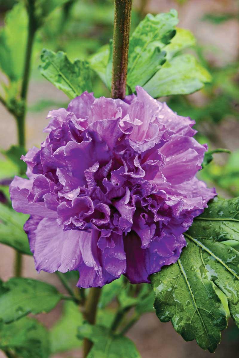 French Cabaret™ rose of Sharon