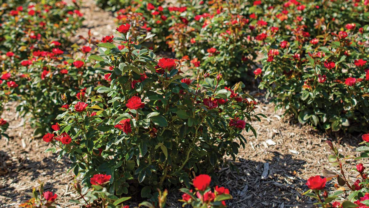 The Petite Knock Out® rose
