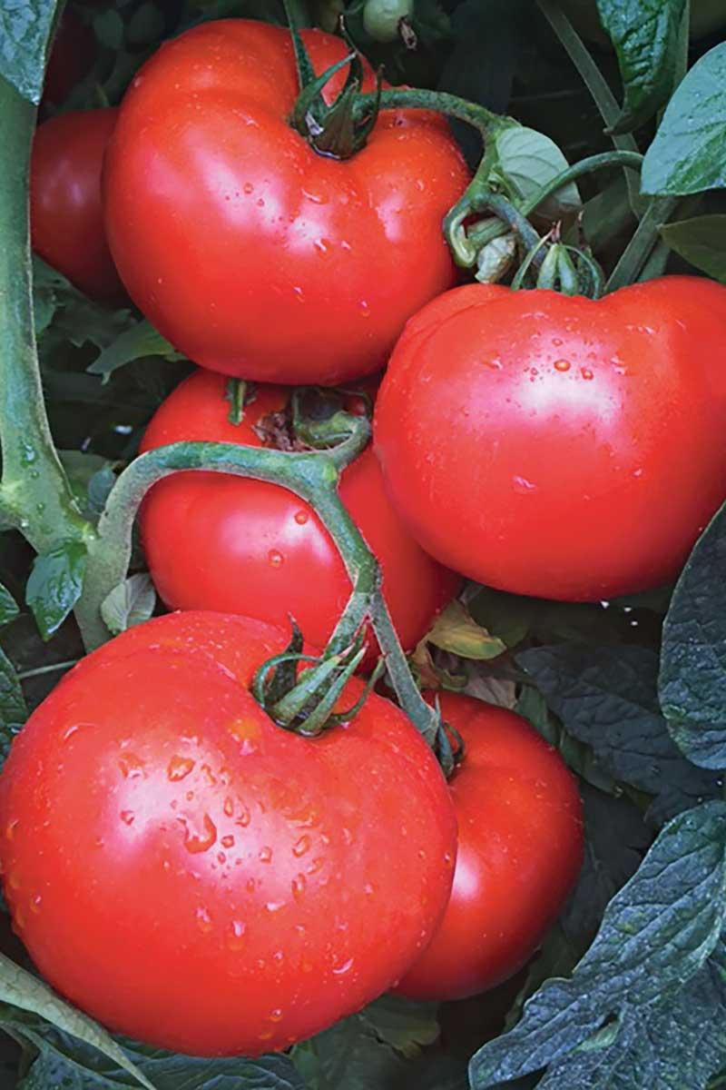 'Jolene' tomato