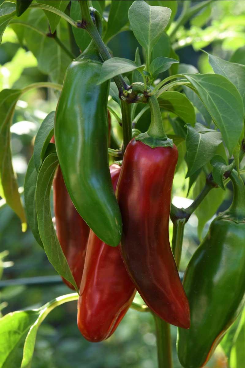'Sweet Poppers' jalapeño pepper
