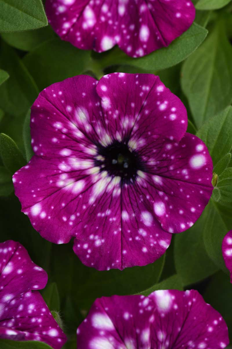 Headliner™ Electric Purple Sky petunia