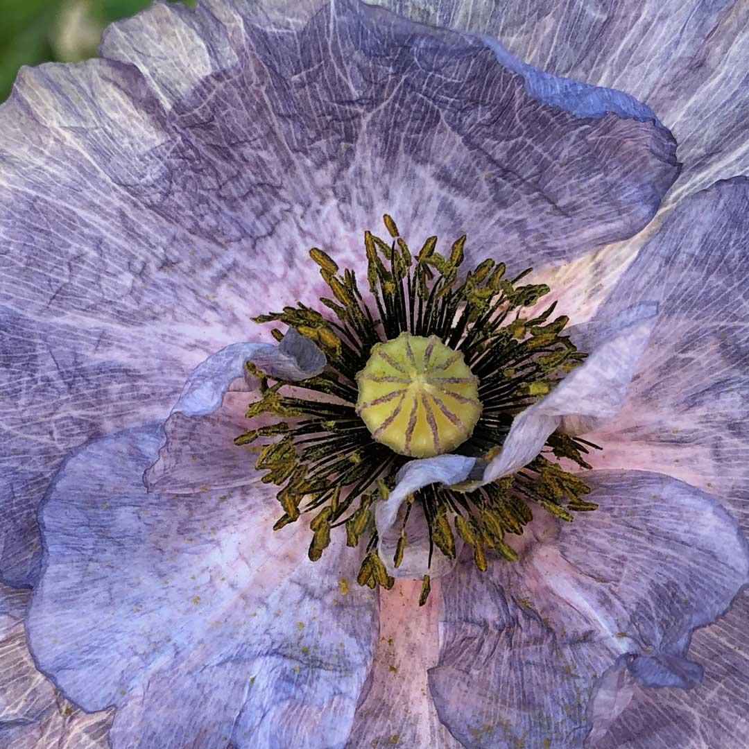 'Amazing Grey' shirley poppy