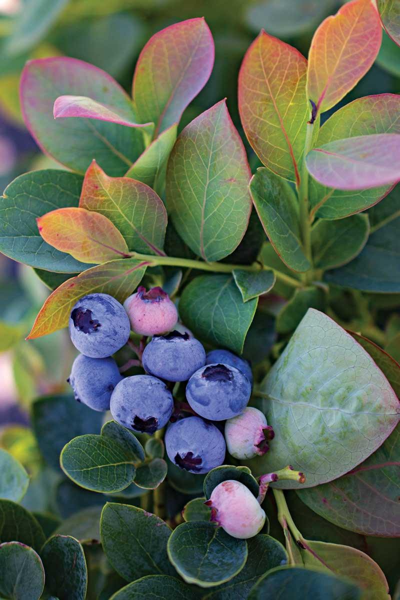 Silver Dollar® blueberry