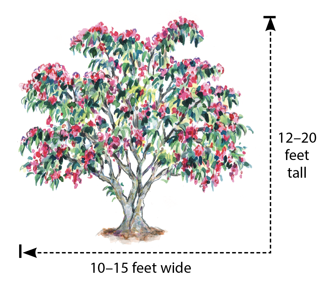 Korean sweetheart tree (Euscaphis japonica) Illustration