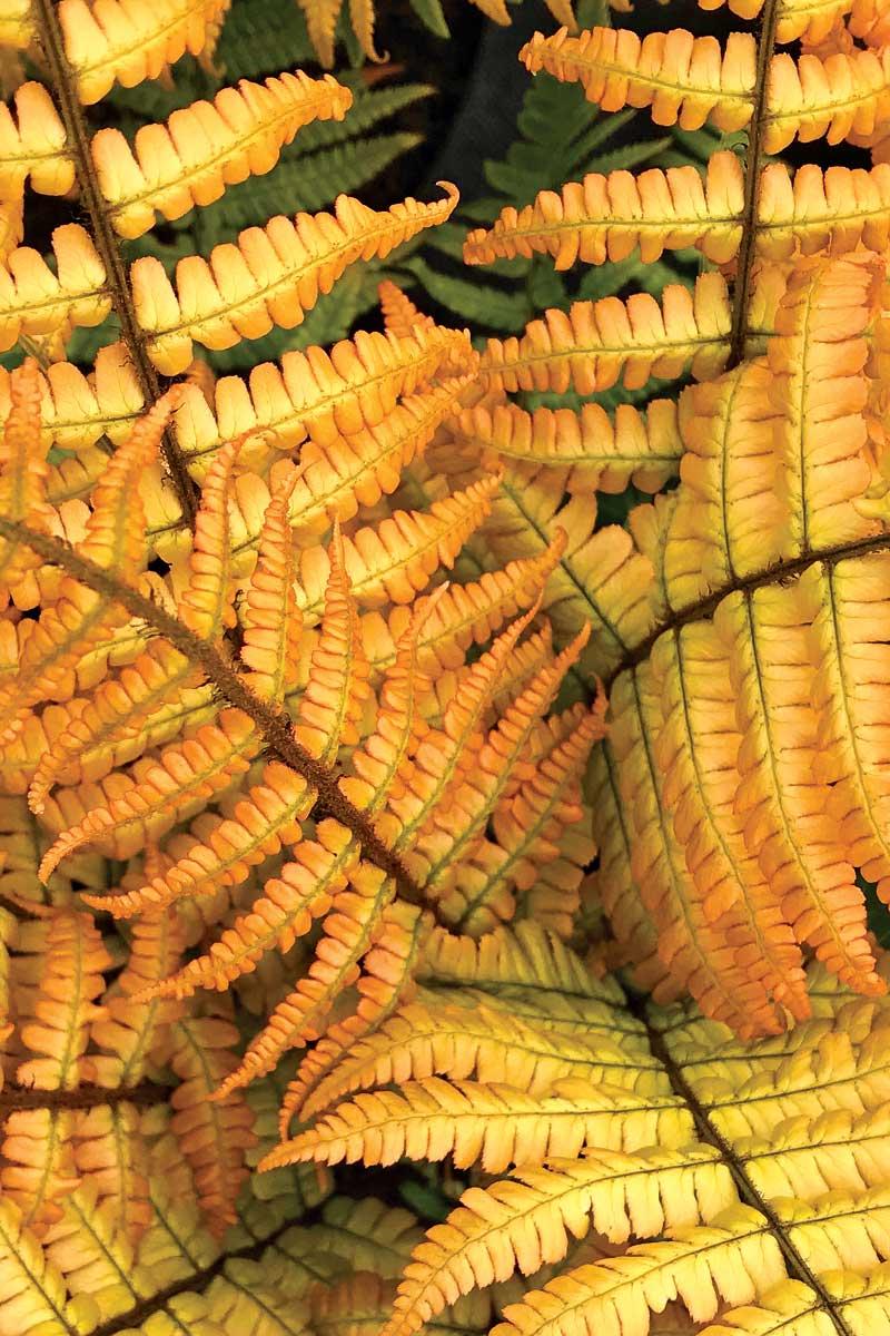 Jurassic Gold wood fern