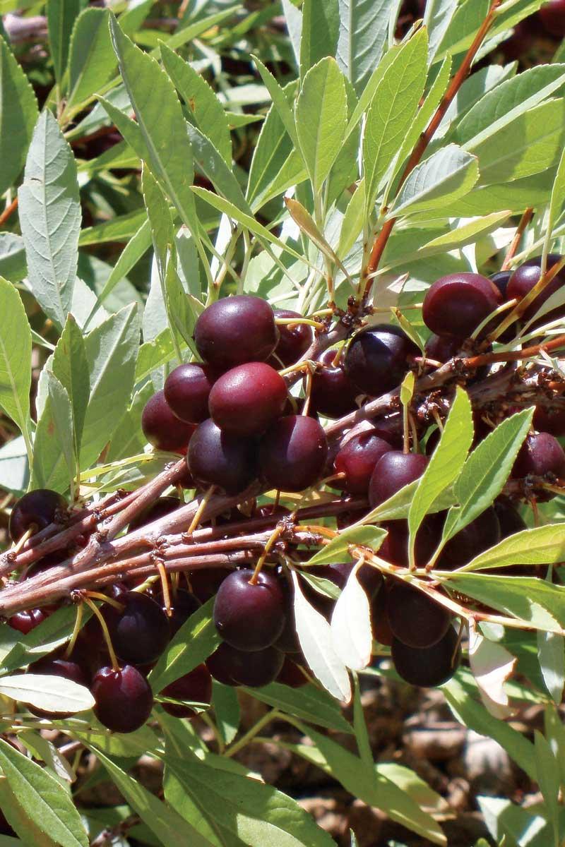 Pawnee Buttes® Western Sand Cherry