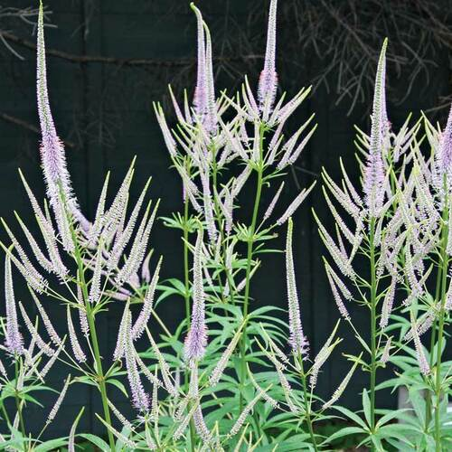 'Fascination' culver's root
