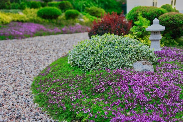 Creeping thyme in bloom