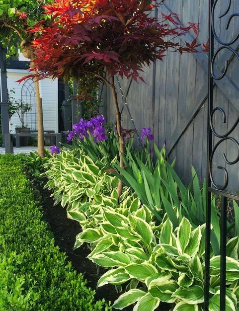 Irises with hostas