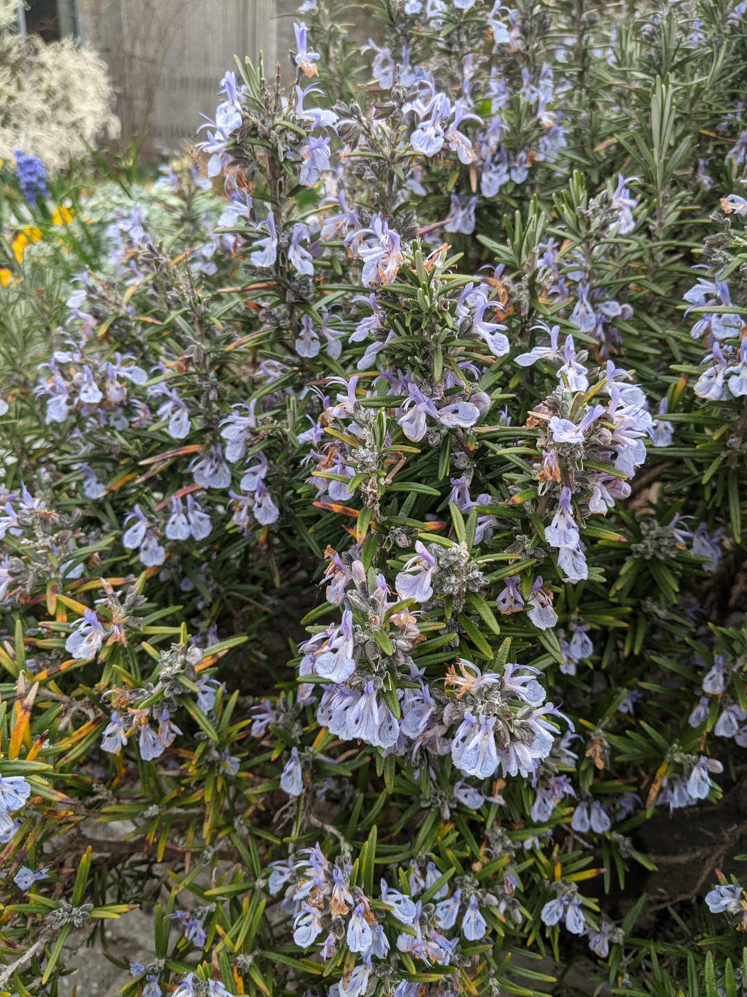 rosemary shrub with purple flowers