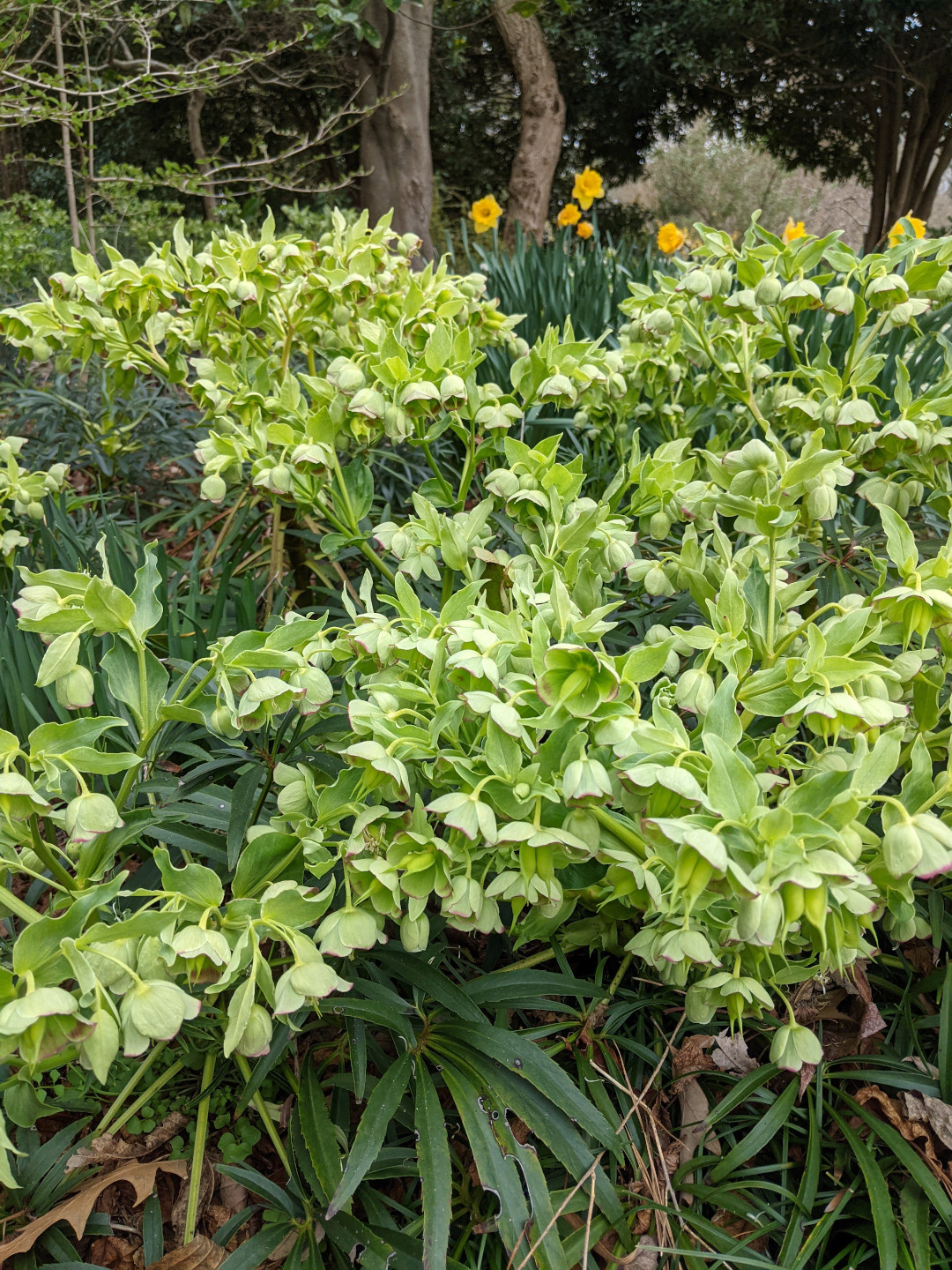 Big mass of green hellebores
