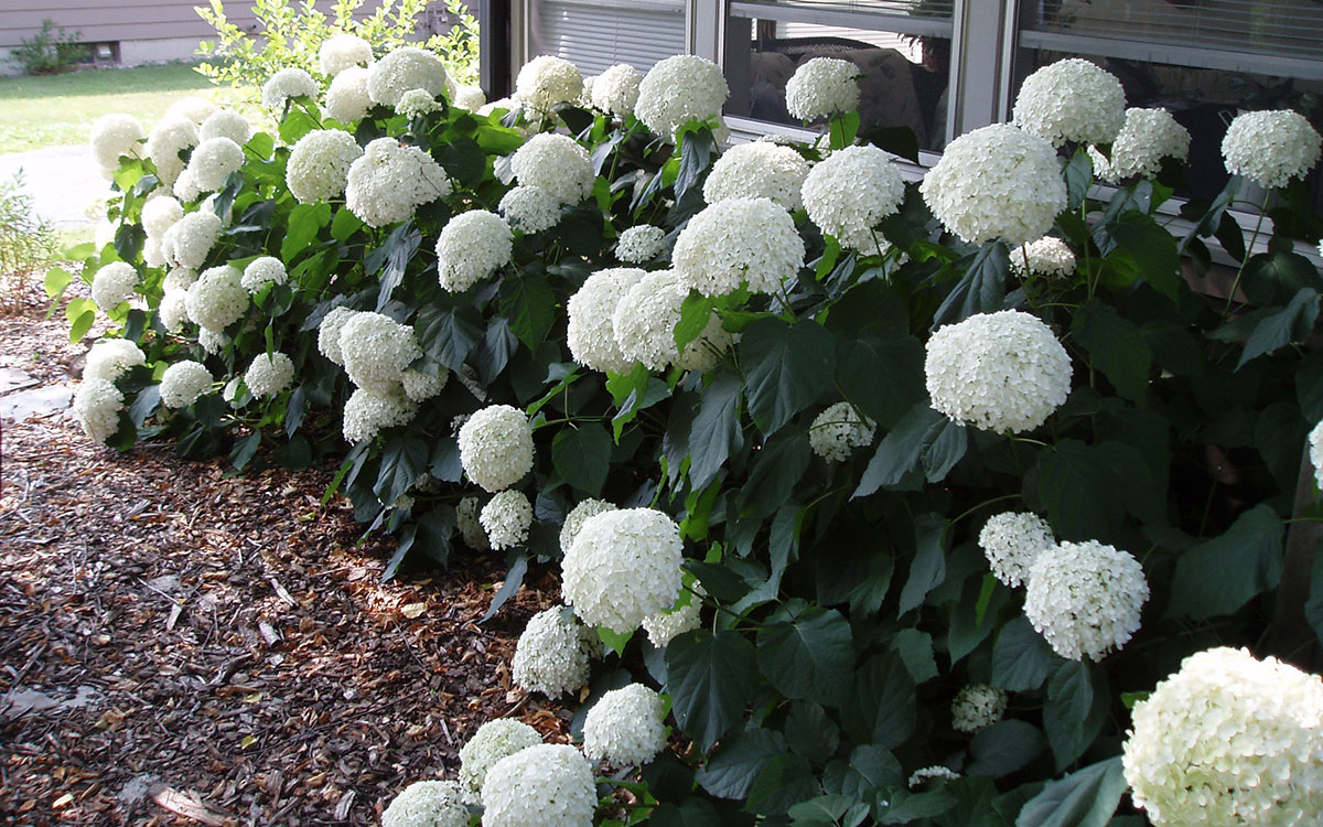 Smooth hydrangea with white flowers