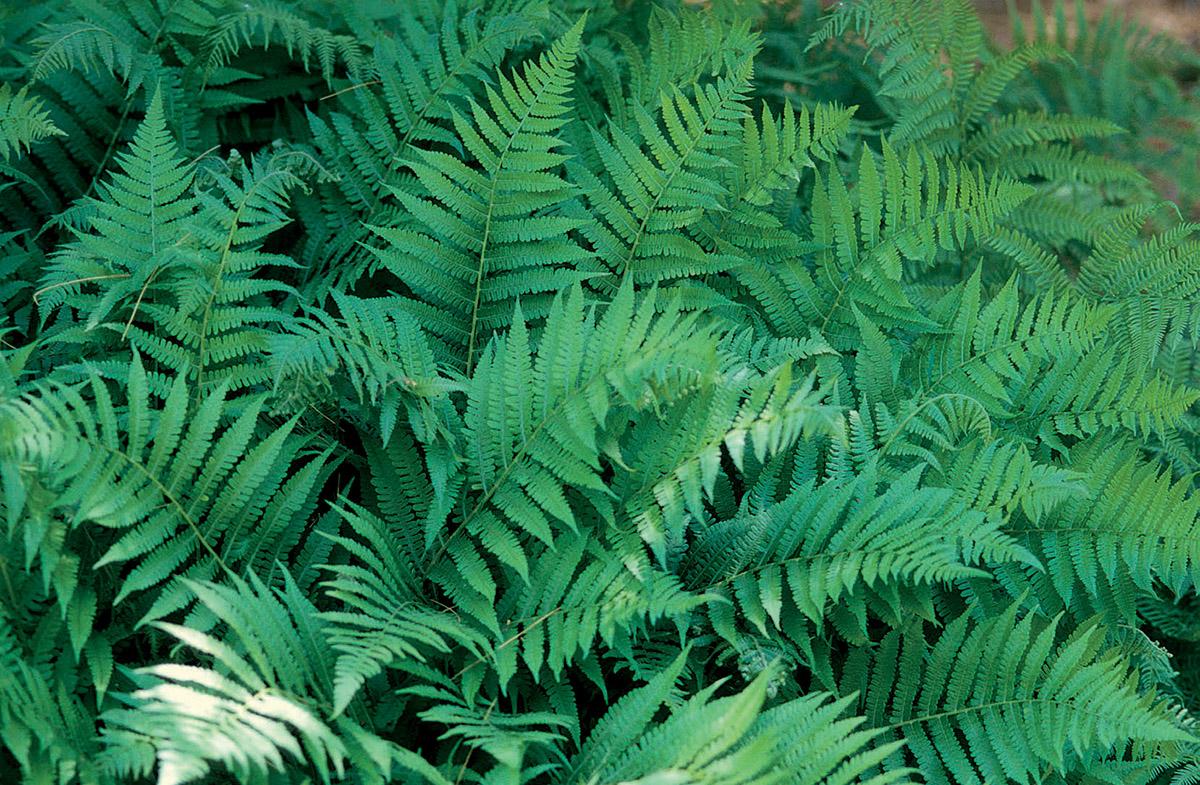 Common lady fern