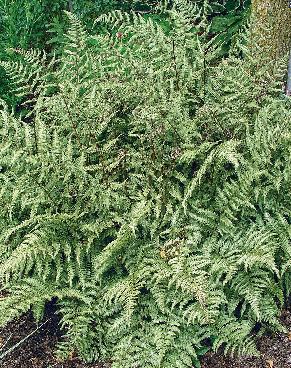 Branford Beauty fern
