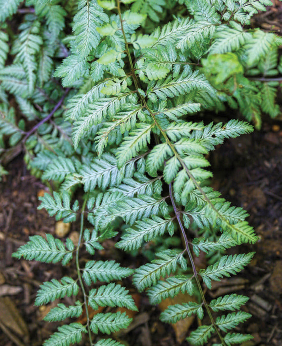 Pearly White Japanese Fern