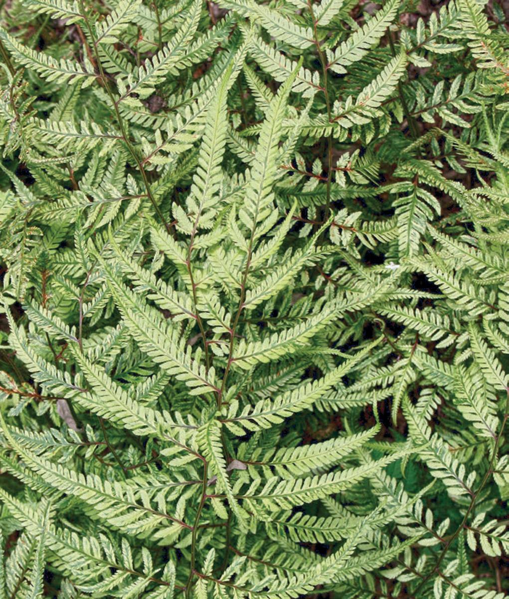 Lemon Cream painted fern