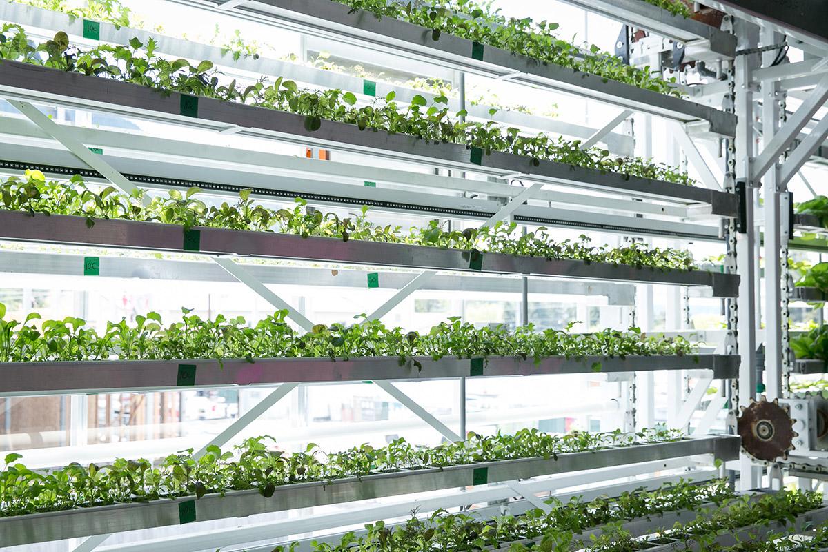 Racks of seedlings in a greenhouse