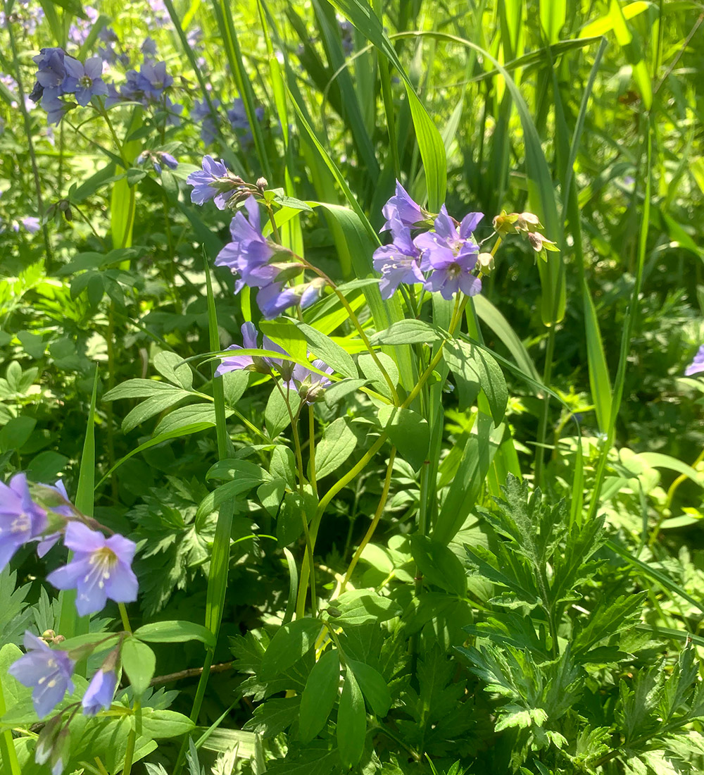 Jacobs ladder flowers