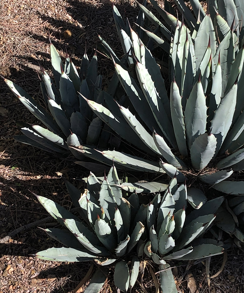 Black-tipped agave