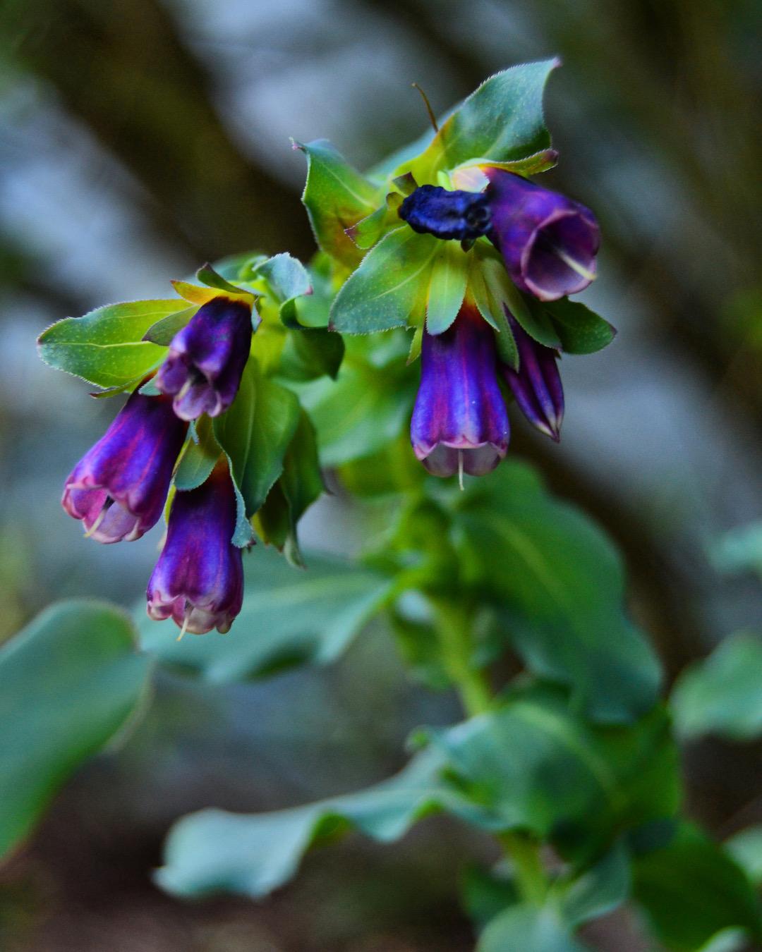 Close-up of Honeywort Kiwi Blue