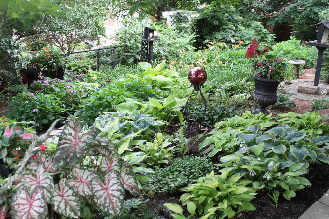 shade garden with tender caladium