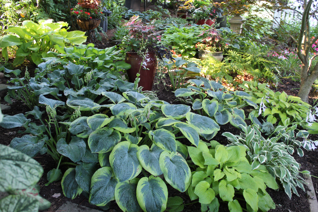 many different size and color hostas