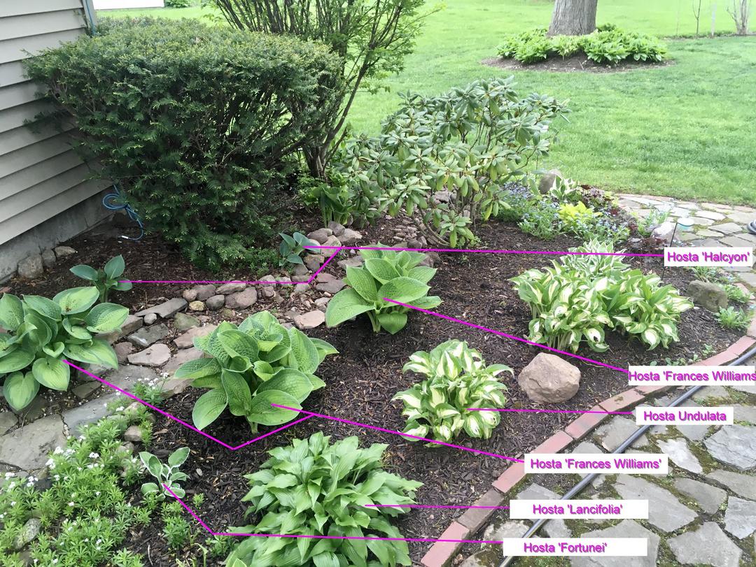 garden bed with lots of hostas