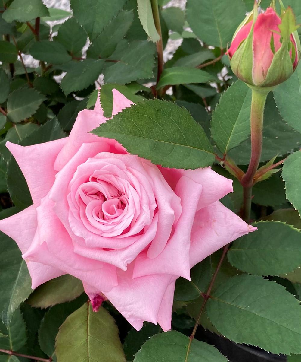 Belinda's Dream rose