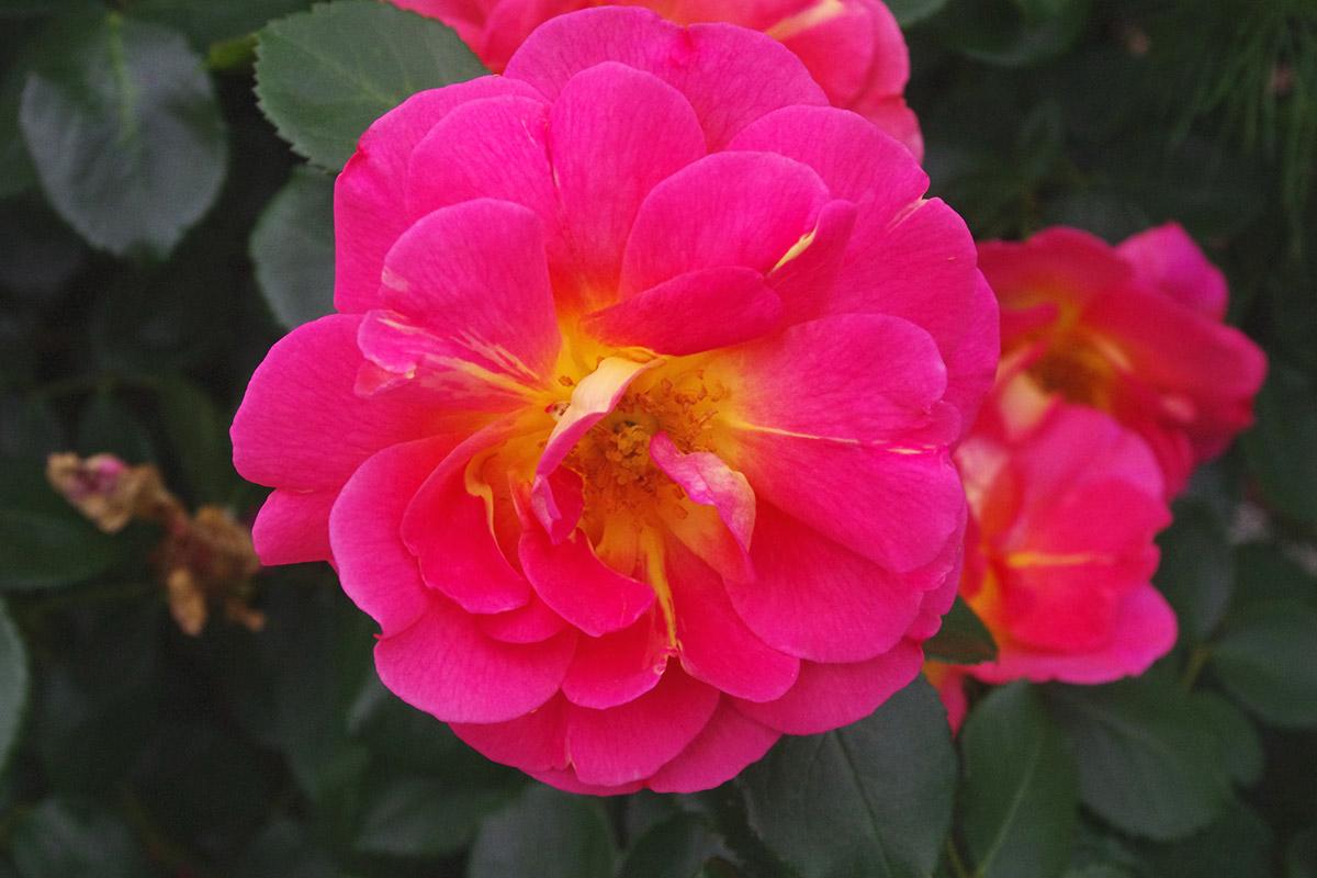 Lafter hybrid tea rose