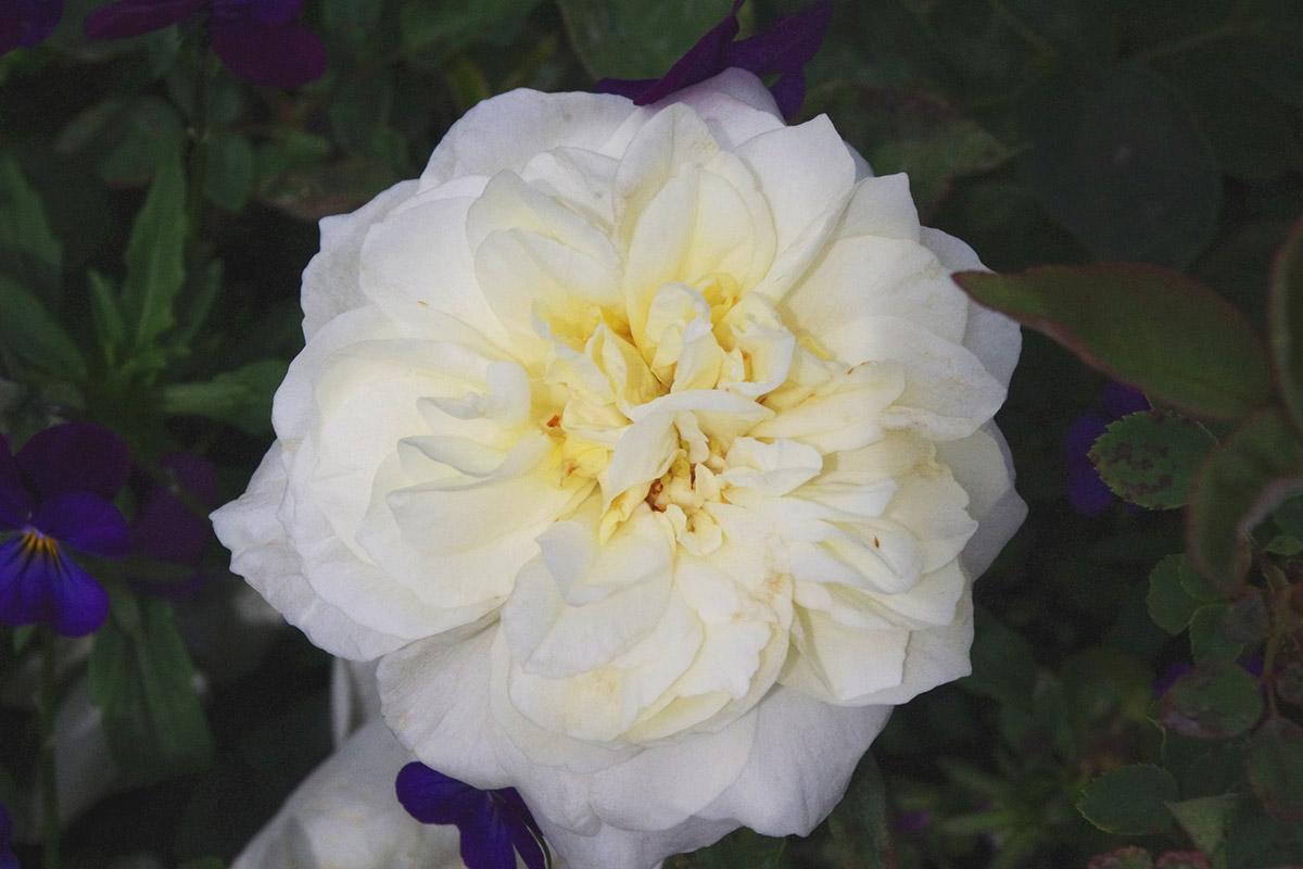 Lamarque climbing rose
