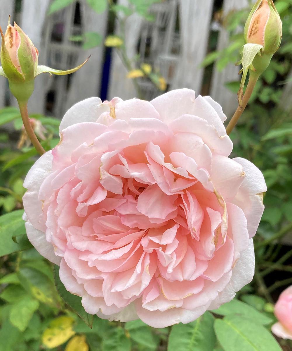 Quietness hybrid tea rose